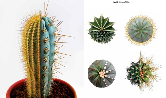 Cactus_hybrids